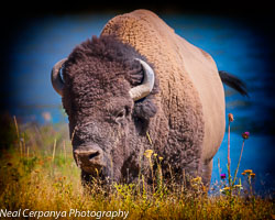National Bison Reserve